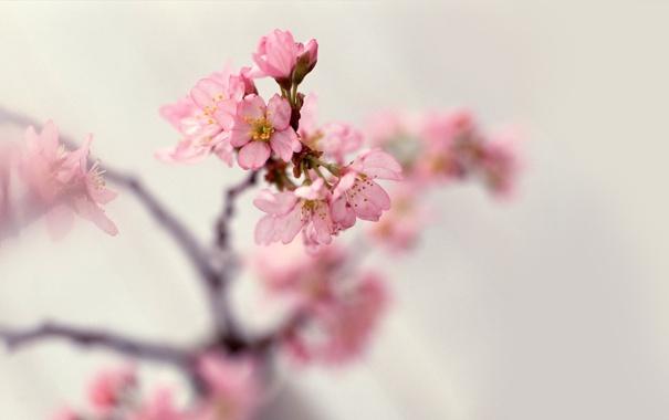 Фото обои цветы, ветки, природа, нежность, весна, лепестки, размытость