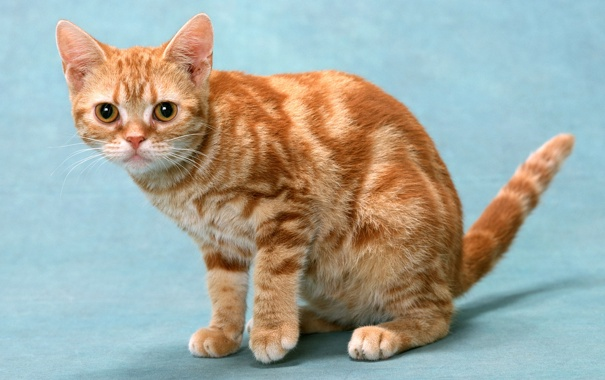 Фото обои кот, британец, красный мрамор
