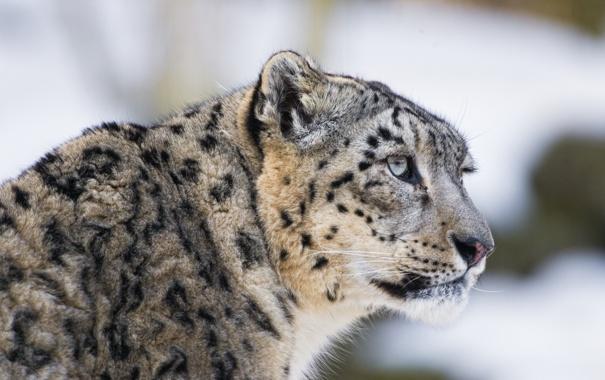 Фото обои кошка, взгляд, морда, ирбис, снежный барс, ©Tambako The Jaguar