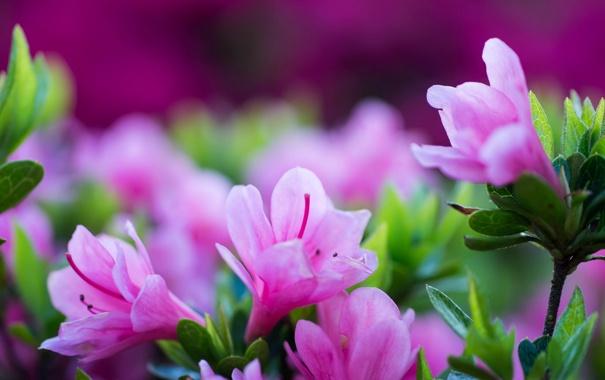 Фото обои листья, цветы, лепестки, размытость, тычинки, розовые