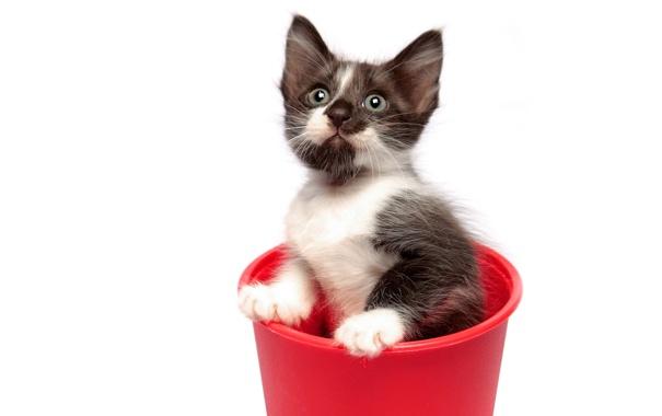 Фото обои котенок, ведро, двухцветный
