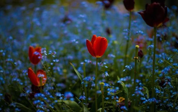 Фото обои поле, цветы, тюльпан, весна, луг