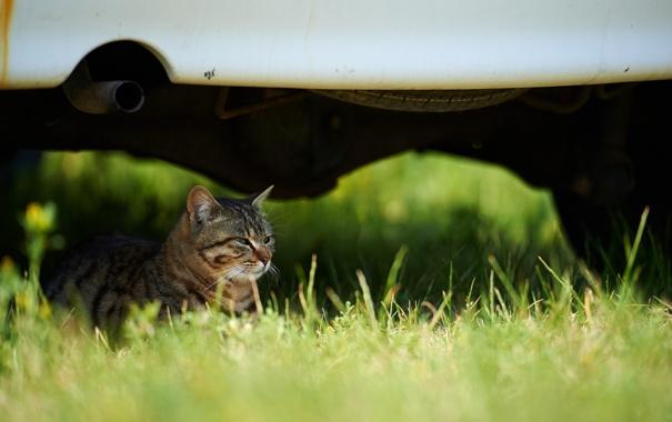 Фото обои машина, трава, кот, отдых, лежа