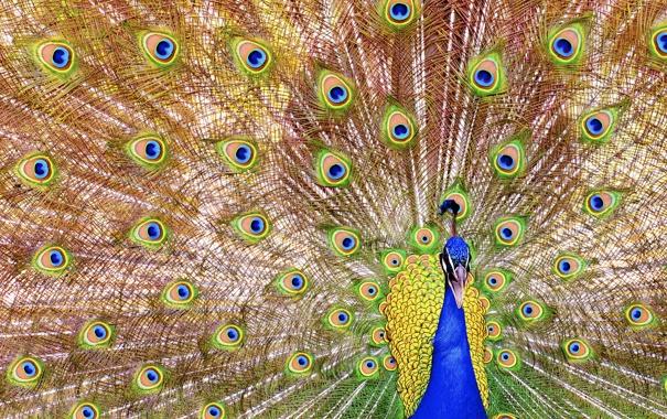 Фото обои птица, узор, перья, хвост, павлин