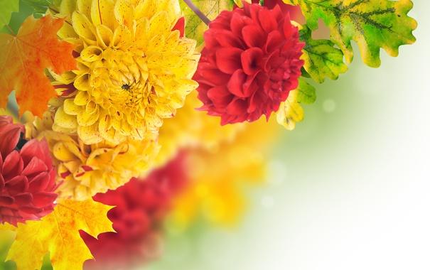 Фото обои листья, желтый, красный, лепестки, red, бутоны, yellow