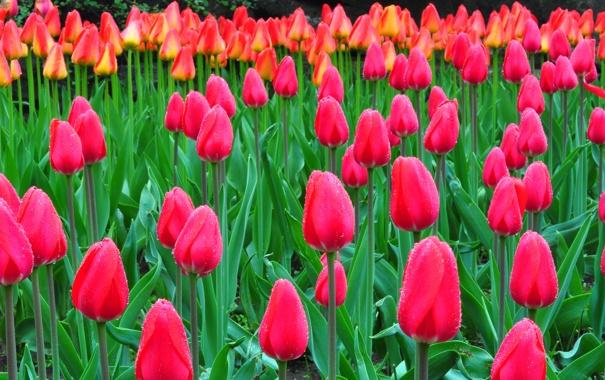 Фото обои капли, природа, роса, тюльпаны, клумба, плантация