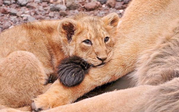Фото обои грусть, лев, лежит, смотрит, львёнок, мамин хвост