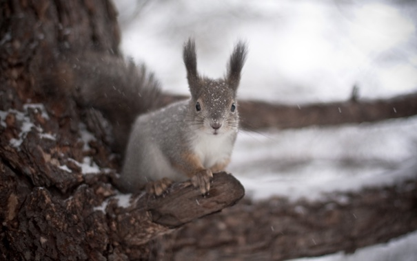 Фото обои зима, снег, белка