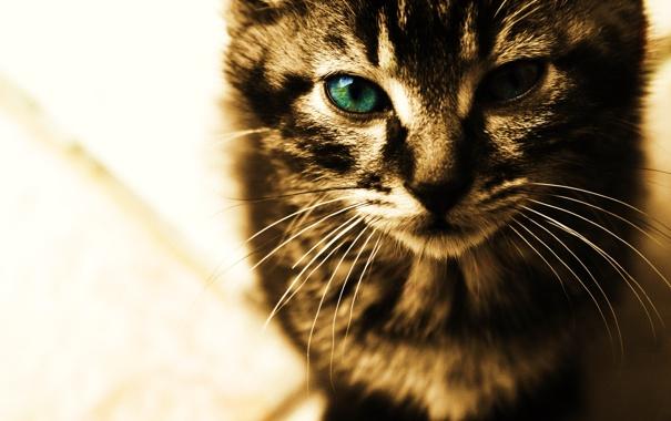 Фото обои кот, усы, взгляд, кошки, лицо, cats, анфас