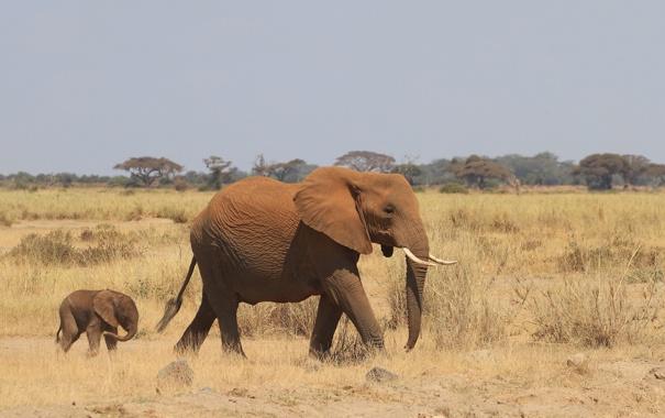 Фото обои Слон, африка, слонёнок