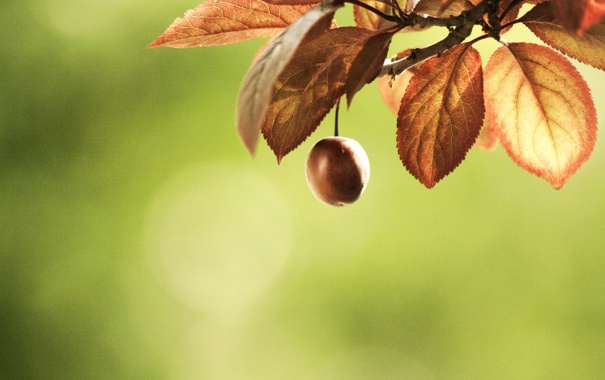 Фото обои листья, макро, вишня, ветка, blur