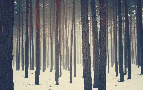 Фото обои зима, лес, снег, сосны, бор