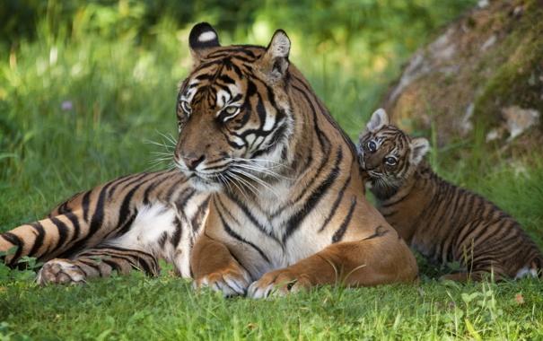 Фото обои трава, кошки, малыш, семья, тигры, тигренок