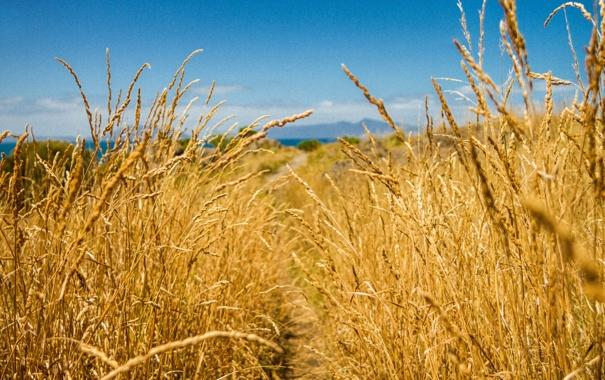 Фото обои пшеница, поле, небо, колос, луг, колосья, тронинка