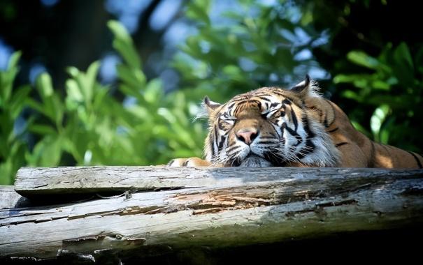 Фото обои морда, тигр, отдых, сон, хищник, дикая кошка