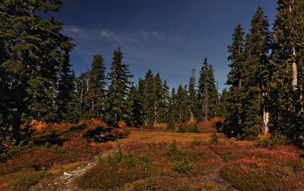 Фото обои лес, поляна, сосны