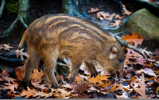 Фото обои лес, природа, Little Piglet