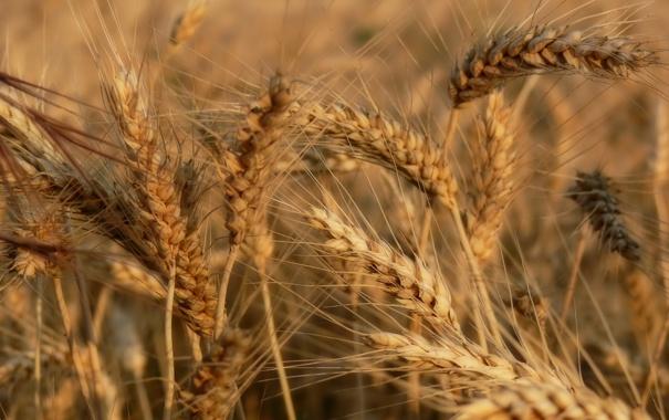 Фото обои лето, колосья, Пшеница