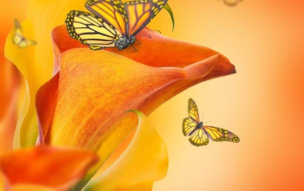 Фото обои бабочки, цветы, бутоны, flowers, каллы, butterflies, buds