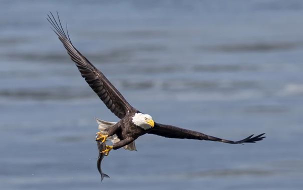 Фото обои орёл, птица, рыба
