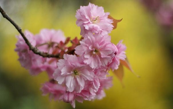 Фото обои макро, цветы, фон, ветка, весна, лепестки, сакура