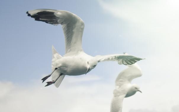 Фото обои белый, небо, птицы, чайка, sky, fly, летать