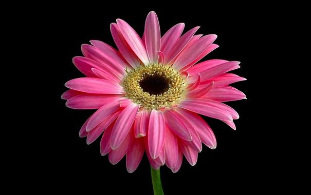 Фото обои цветок, лепестки, стебель, гербера
