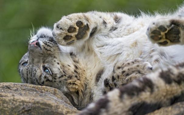 Фото обои снежный барс, ирбис, ©Tambako The Jaguar, кошка