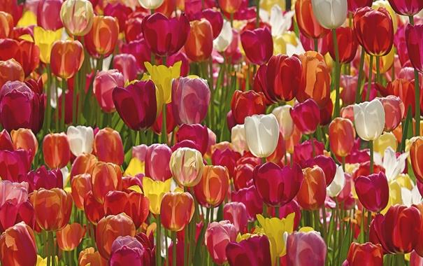 Фото обои тюльпаны, бутоны, много