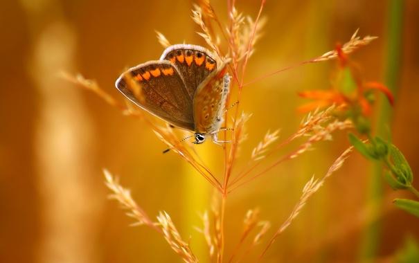 Фото обои бабочка, насекомое, колосок, боке
