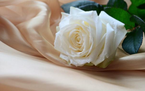 Фото обои цветок, нежность, роза