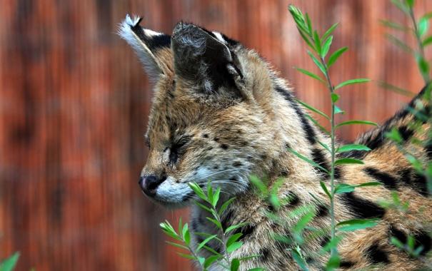 Фото обои кошка, трава, морда, профиль, сервал