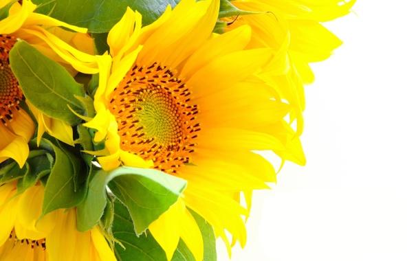Фото обои подсолнухи, цветы, лепестки, листики
