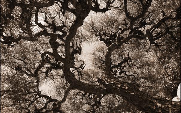 Фото обои иголки, ветки, дерево, ствол