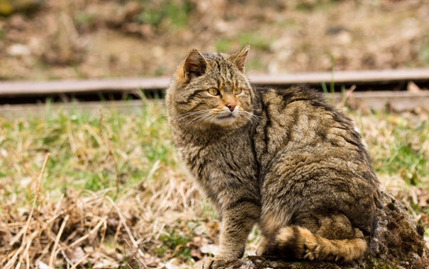 Фото обои кошка, взгляд, лесной кот, дикий кот