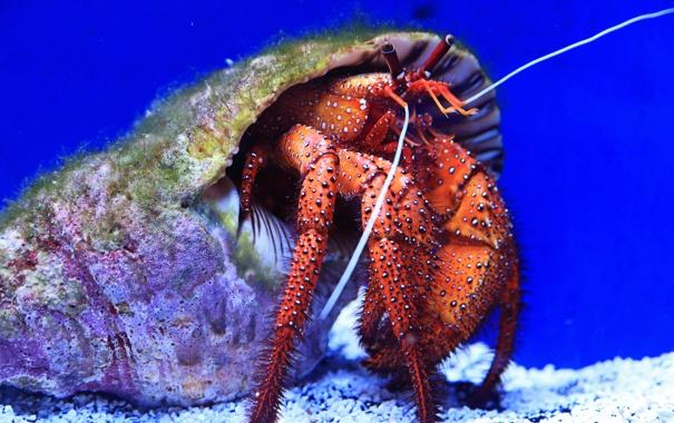 Фото обои море, раковина, клешня, рак