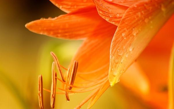 Фото обои цветок, макро, оранжевый, лилия