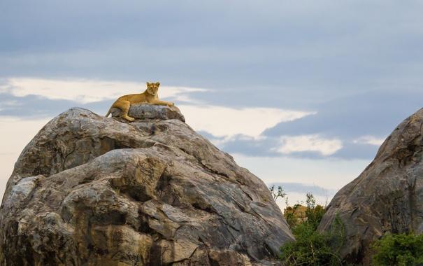 Фото обои природа, скала, лев