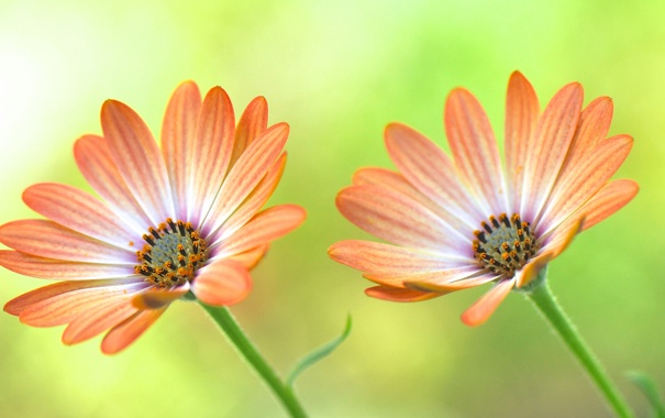 Фото обои макро, лепестки, сад, стебель, луг, пара