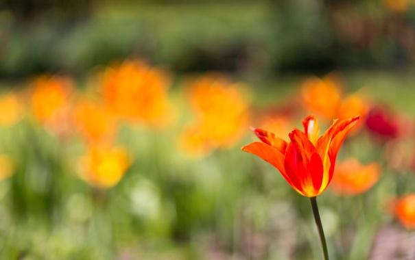 Фото обои цветок, тюльпан, лепестки