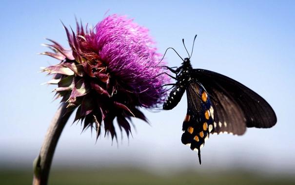 Фото обои цветок, небо, макро, Бабочка, butterfly, чертополох
