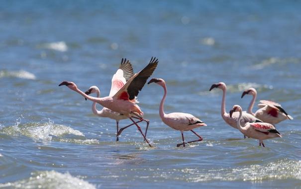 Фото обои природа, фламинго, вода, птицы