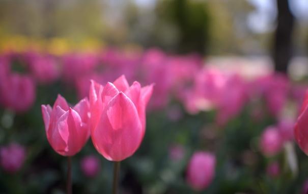 Фото обои парк, лепестки, тюльпаны, клумба