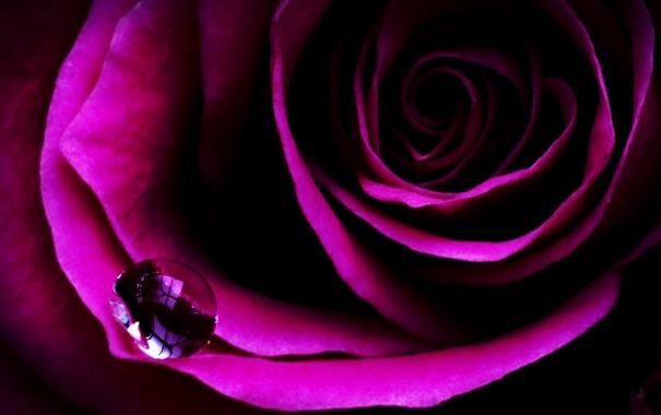 Фото обои цветок, капля, лепестки, Роза, вода, бутон