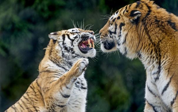 Фото обои кошки, тигр, пара, клыки, оскал, злой, амурский