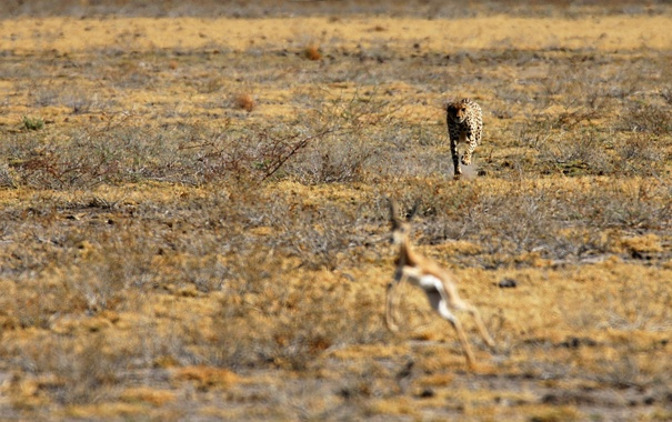 Фото обои леопард, саванна, охота, африка