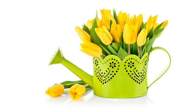 Фото обои тюльпаны, лейка, жёлтые, белый фон