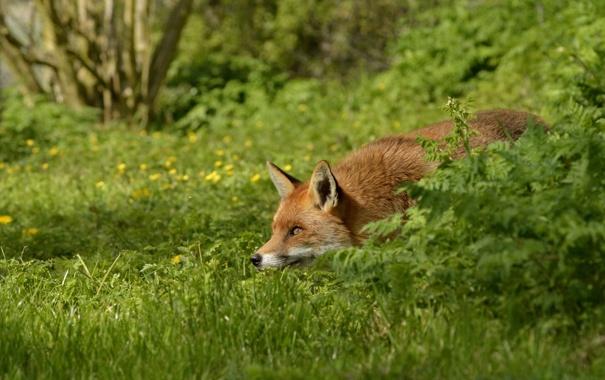 Фото обои трава, лиса, рыжая, в засаде