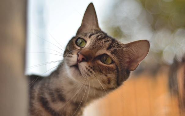 Фото обои глаза, кот, усы, взгляд, фон