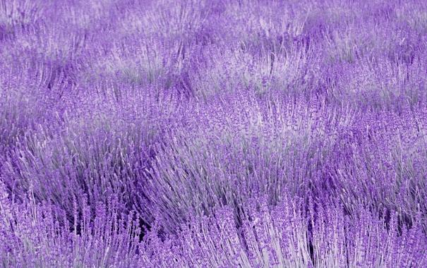 Фото обои поле, сиреневый, лаванда